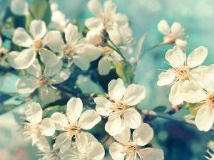 Яблоня Папироянтарное — главные особенности сорта