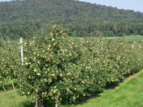 Яблони высаживают в прогретый грунт