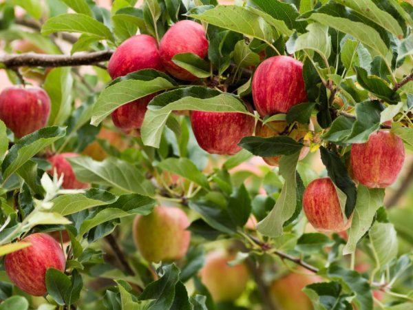 Яблоки Пинк Леди — полное описание сорта