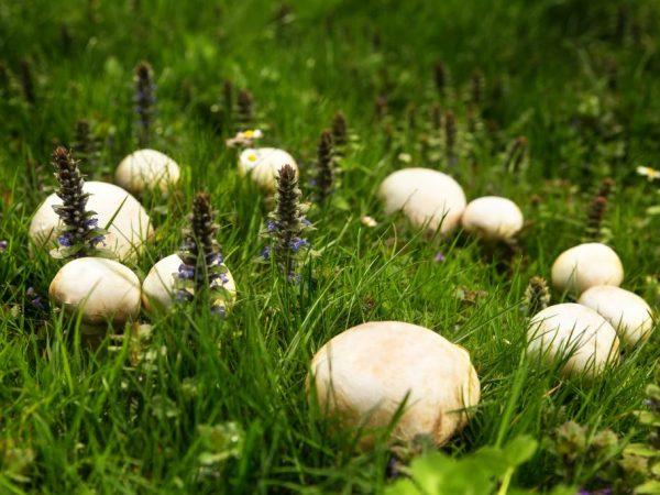 Луговой шампиньон — описание гриба