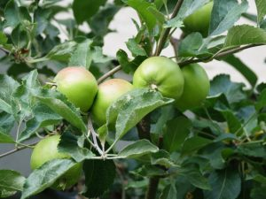 Яблоня Спартан — особенности выращивания