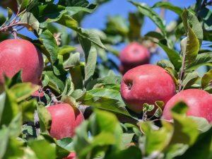 Яблоня Успенское — посадка и уход