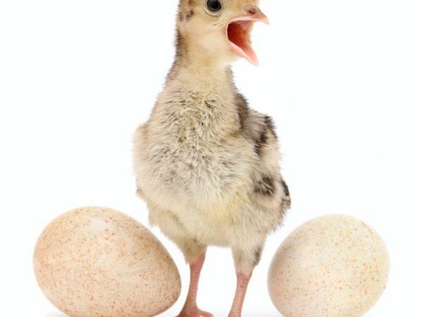Индюшиные яйца — состав, калорийность, польза и вред