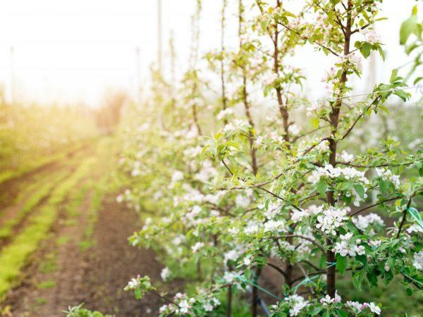 Выбирайте для посадки здоровые деревца
