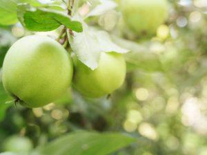 Яблоня Славянка — сортовые характеристики