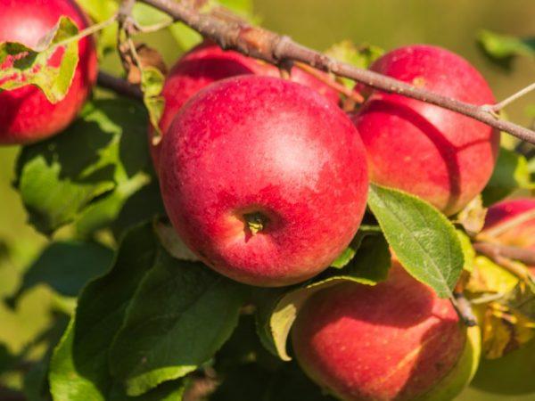Яблоня Уэлси — полная информация о сорте