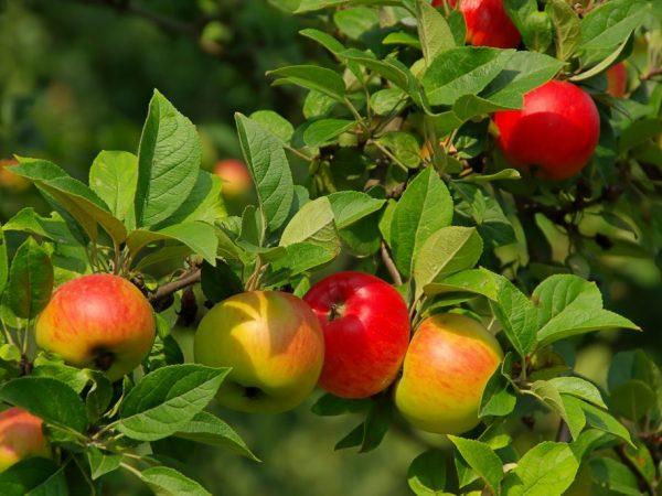 Яблоня Вишневое — важная информация о сорте
