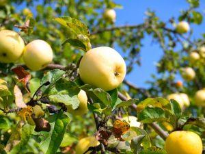 Яблоня Юнга — полукультурный сорт для холодных регионов