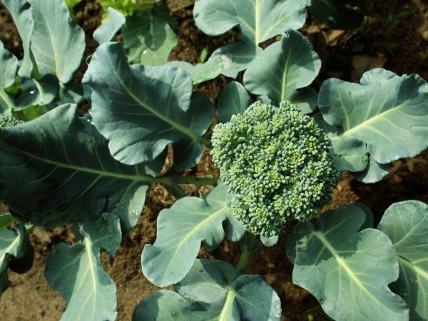Капуста брокколи Маратон f1 — правила посадки и выращивания