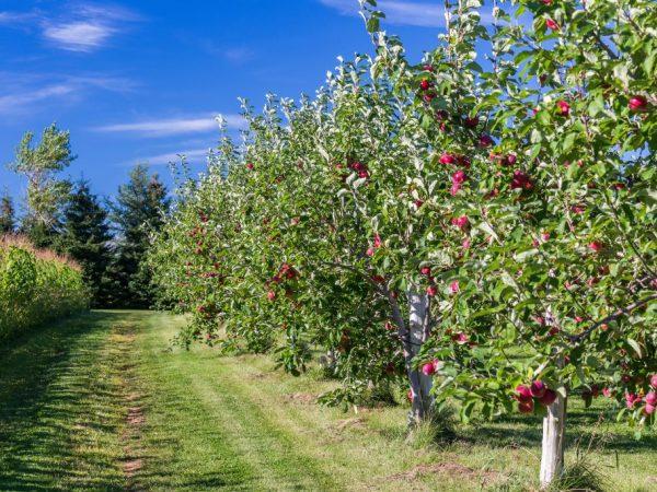 Яблони нуждаются в правильном уходе