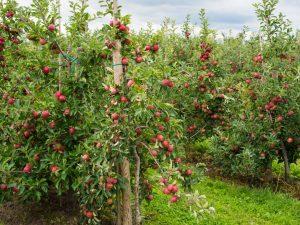 Яблоки Джонатан — посадка и уход