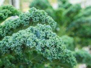 Дикая капуста — полезные свойства и правила выращивания