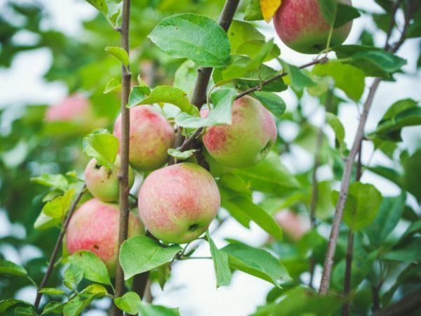 Яблоня Подснежник — как выращивать данный сорт