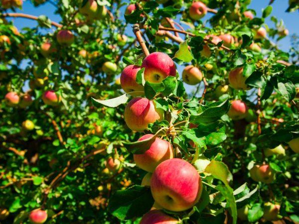 Яблоня Флорина — сортовые характеристики